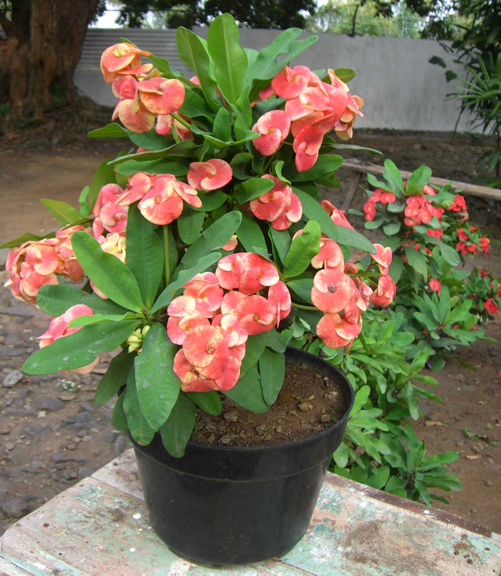 Penanaman Tepat Untuk Euphorbia