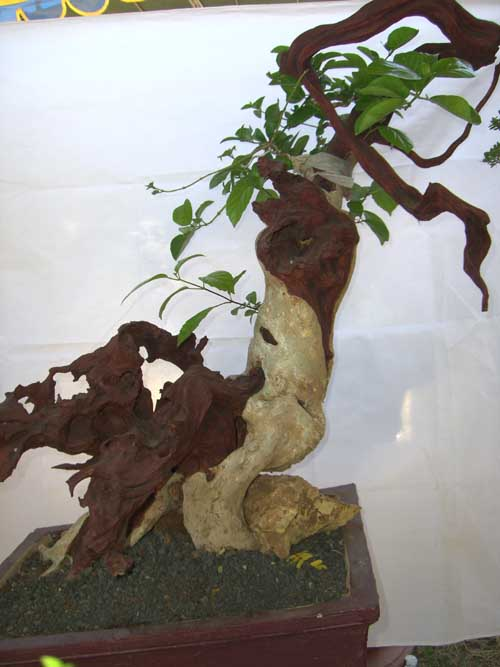 pesona bonsai wahong sancang ragam informasi tanaman hias rh tabloidgallery wordpress com Bonsai Wiring Tips Japanese Bonsai Trees